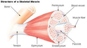 illu_muscle_structure