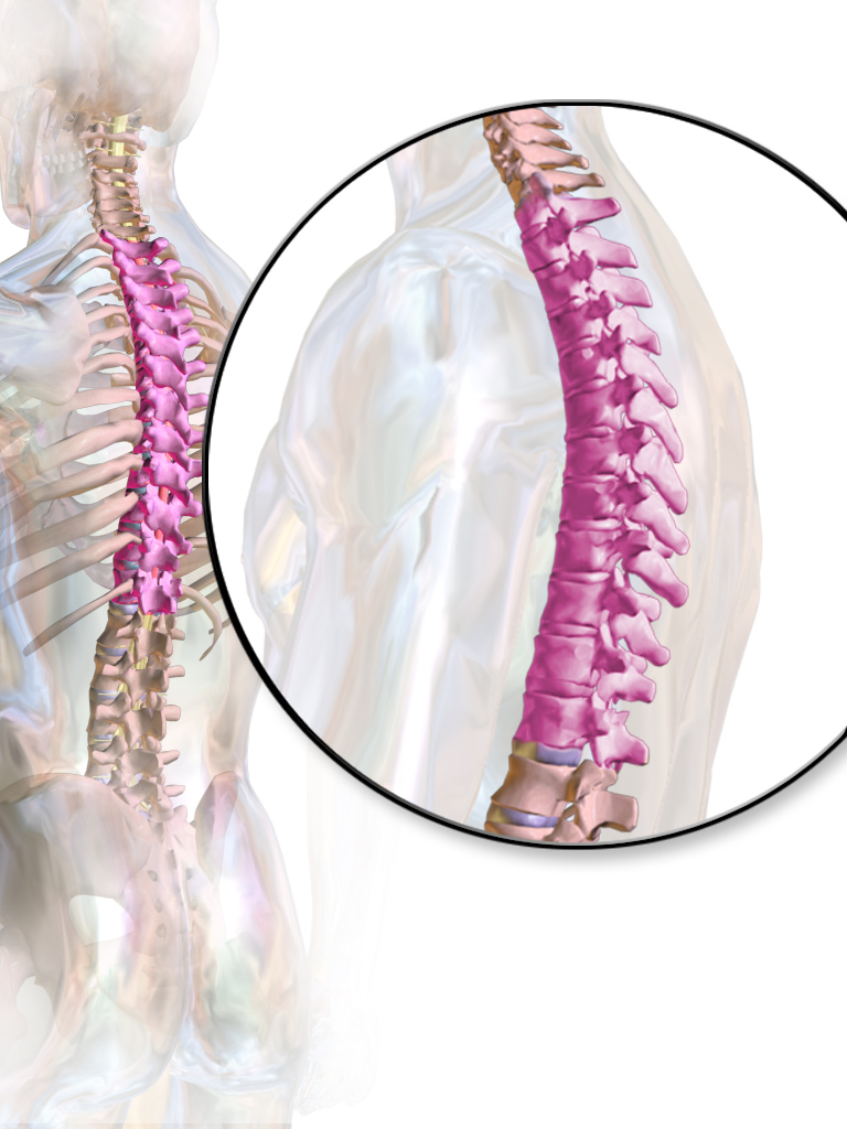 Picture showing the region of the thoracic spine