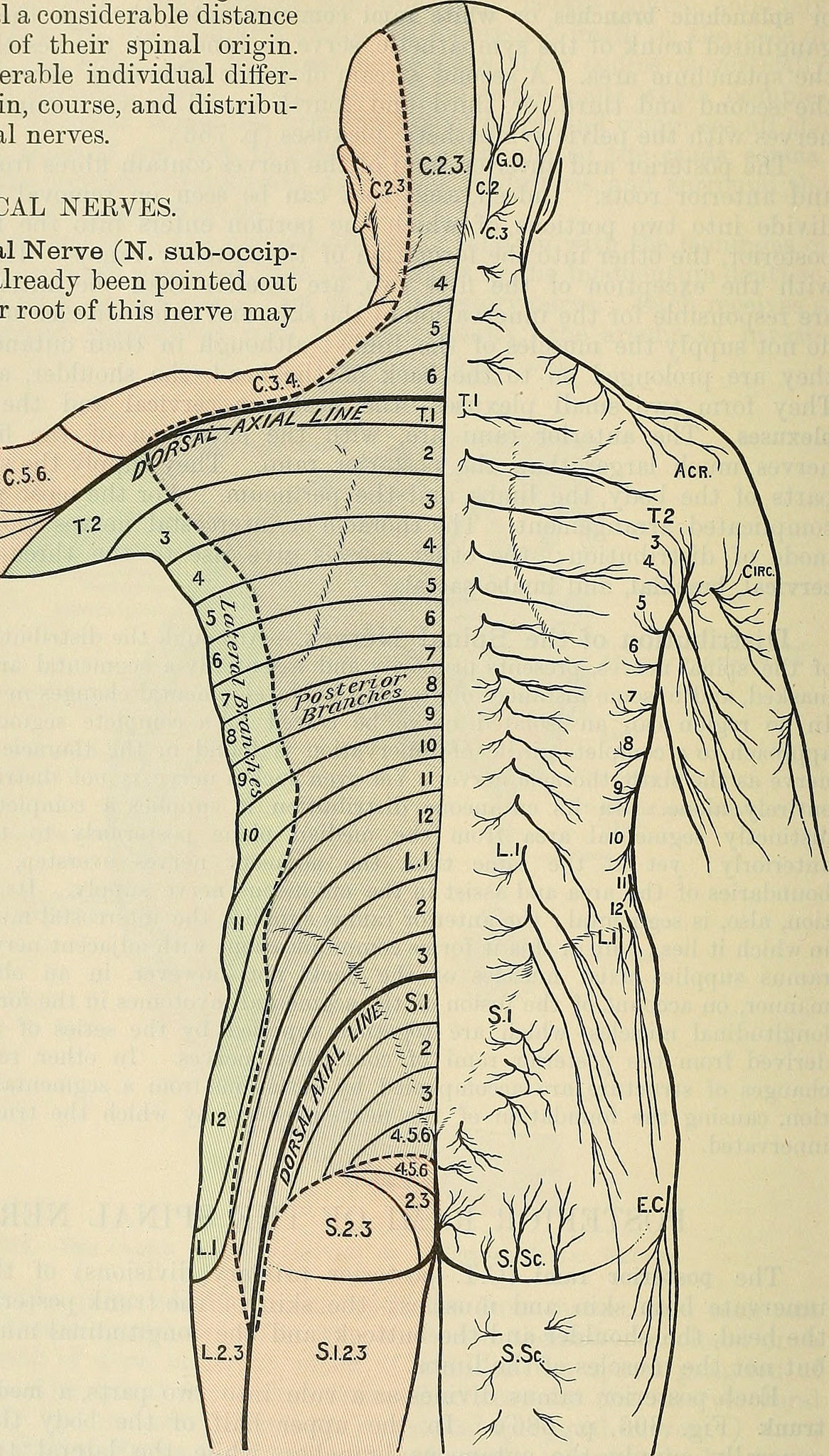 diagram showing thoracic nerve innervation into the abdominal muscles in core strength training